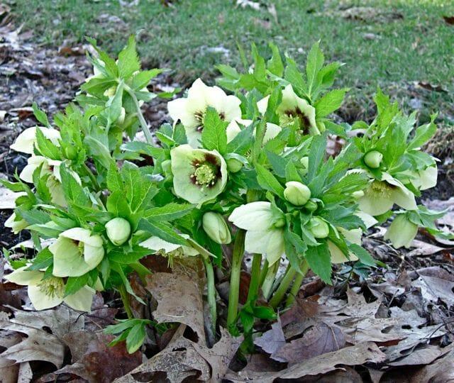 orientalis hybrid