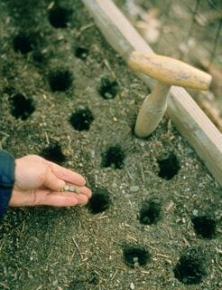 pea planting in raised beds
