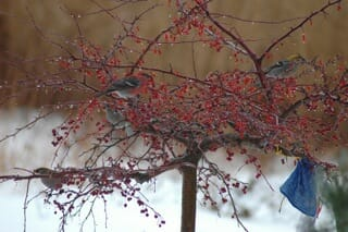 visiting pine grosbeaks