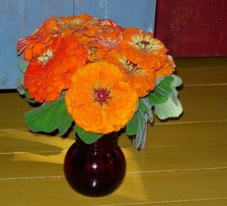Benary Giant orange zinnias