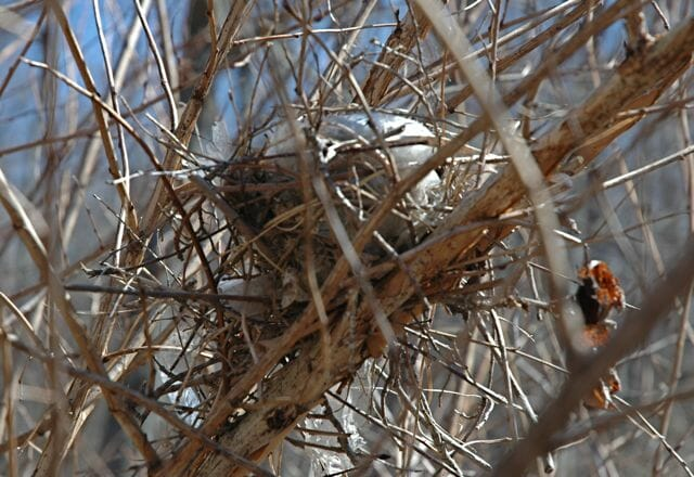 Nest in the Physocarpus