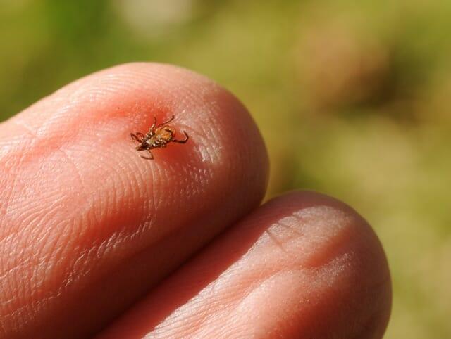 tick on fingertip