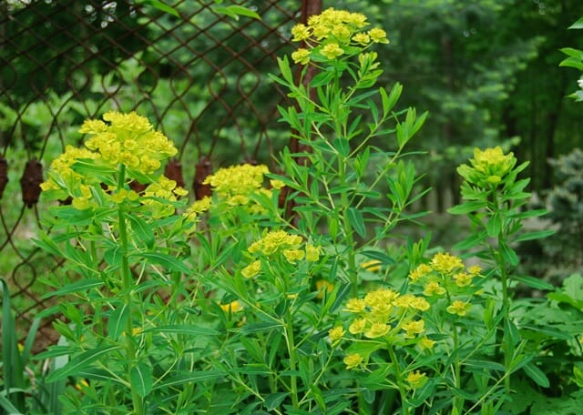 The Best Euphorbia A Way To Garden