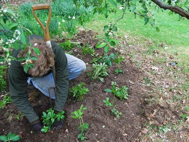 Glenn Withey planting perennials