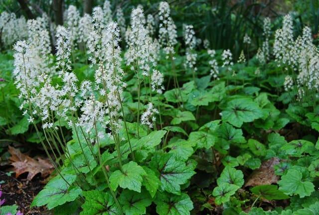 Tiarella Cordifolia A Way To Garden