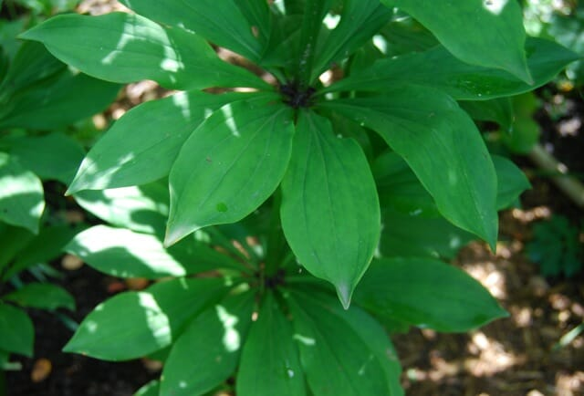 Foliage of Lilium martagon hybrid