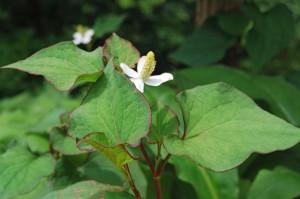 Chameleon plant, or Houttuynia cordata