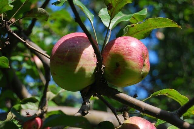 battered-apples