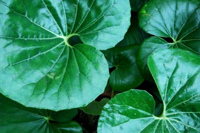 ligularia farfugium
