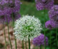 allium rosenbachianum and 'Album' form