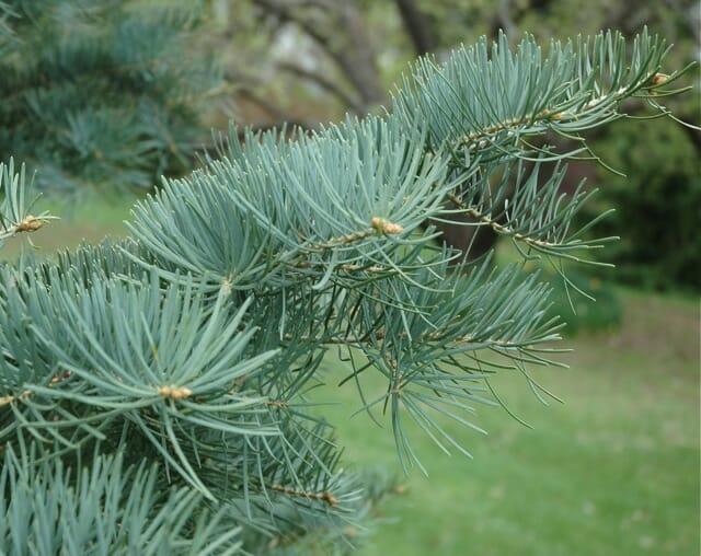 concolor-fir-detail
