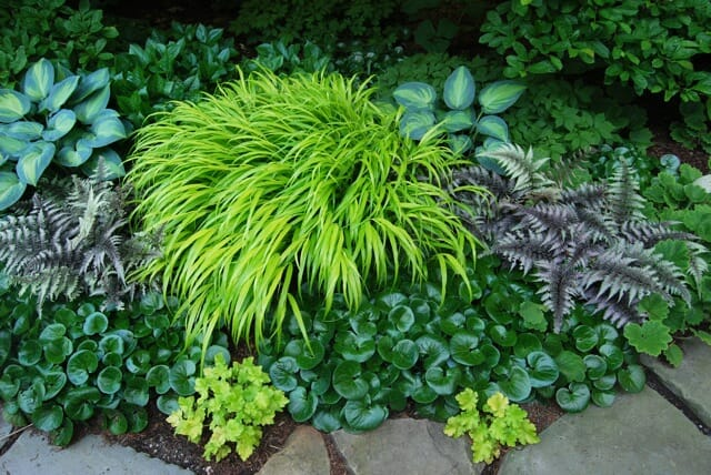 A Plant Id Order Hakonechloa all Gold Way To Garden