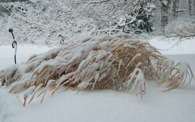 hakonechloa-snow
