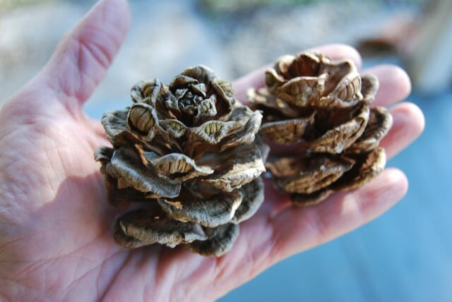 umbrella-pine-cones