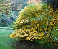 aesculus-parviflora-going-yellow.jpg