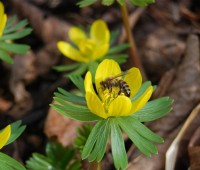 hot p(l)ants: winter aconite, eranthis hyemalis