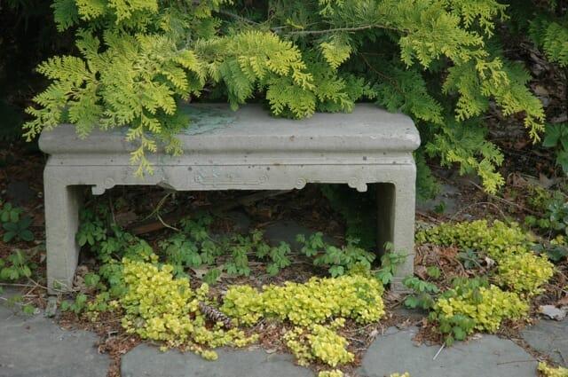gold-moneywort-and-cold-foliage-of-crippsii-chamaecyparis