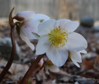 hot p(l)ants: hellebores, bravest perennial