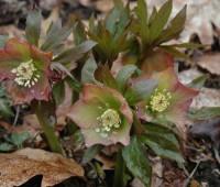 hybrid-helleborus-orientalis.jpg
