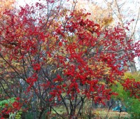 ilex-verticillata-winterberry-holly.jpg