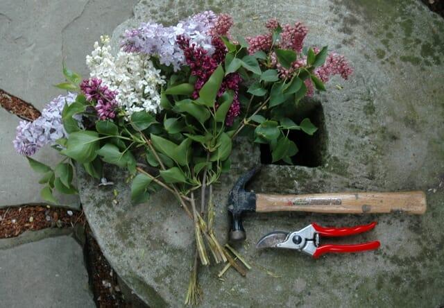 lilac-pruning-2