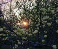 'Butterflies' magnolia