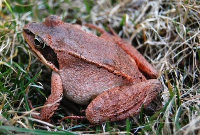 male-wood-frog