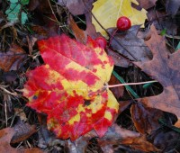maple-and-oak-leaf-fall-crabapple-fruit.jpg