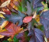 oakleaf-hydrangea-quercifolia.jpg