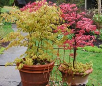 potted-japanese-maples-leafing-out.jpg