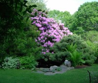 the old rhododendron
