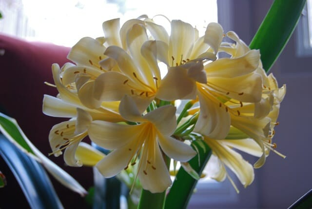 yellow-clivia-fully-open