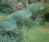 concolor-fir-detail.jpg