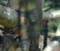 pinus-bungeana-bark.jpg