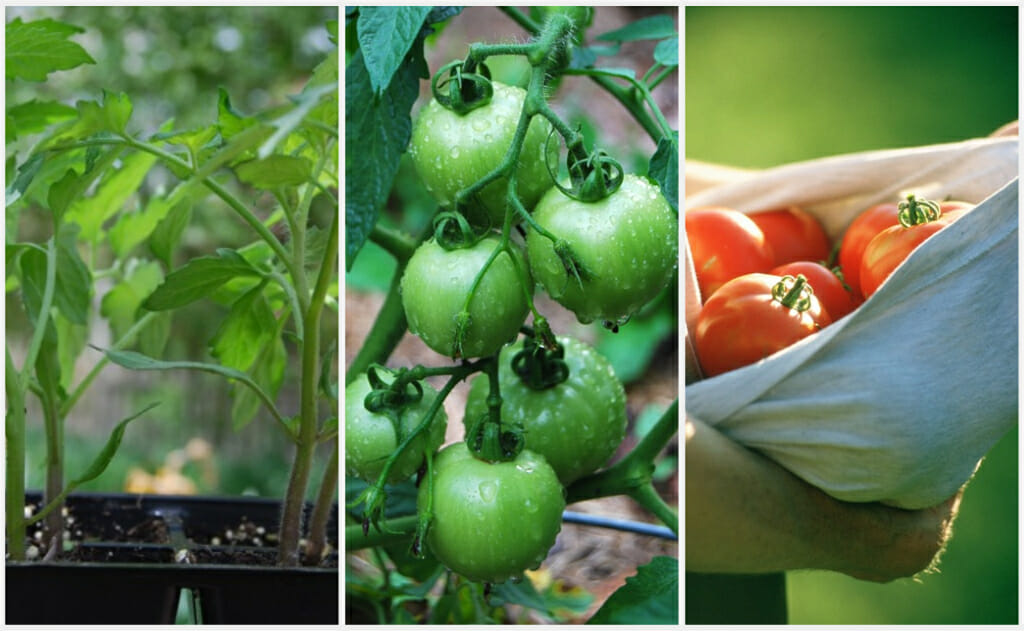 superb grow tomatoes from seed Part - 13: superb grow tomatoes from seed idea