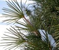 umbrella-pine-detail.jpg