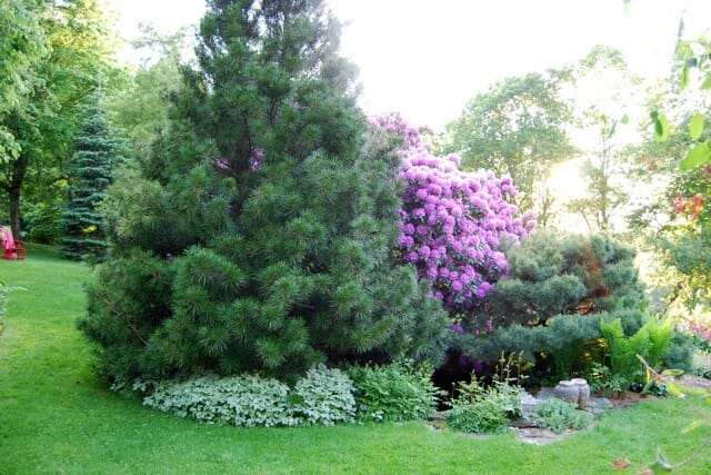Slideshow beloved conifers a way to garden for Mature pine trees