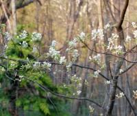 amelanchier-branches.jpg