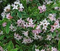 daphne-carol-mackie-blooms.jpg