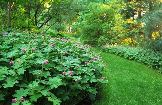 Disegni Piante Erbacee : The toughest groundcovers i rely on a way to garden