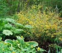 kerria-japonica-picta.jpg