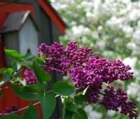 lilac-opener.jpg
