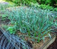 may-30-garlic-bed.jpg