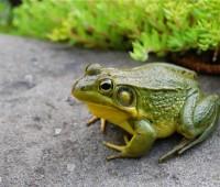 may-30-male-green-frog.jpg