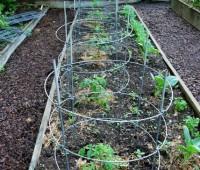 may-30-tomatoes.jpg