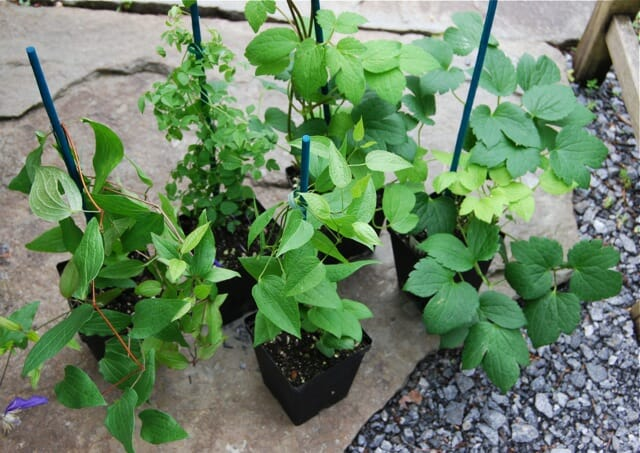 more-clematis-for-shrubs