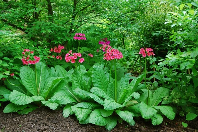 a plant i'd order: primula japonica - A Way To Garden