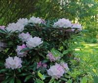 rhododendron-yak-hybrid.jpg
