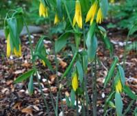 uvularia-grandiflora.jpg