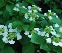 viburnum-doublefile-bloom.jpg